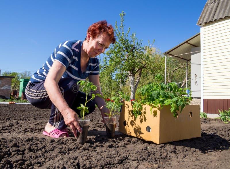 Eine ältere Frau holte einen Kasten junge Tomaten zur Datscha stockbilder