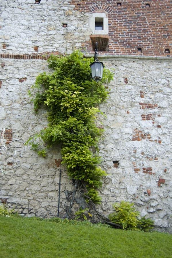 Eine alte Backsteinmauer abgedeckt im Efeu stockfotografie