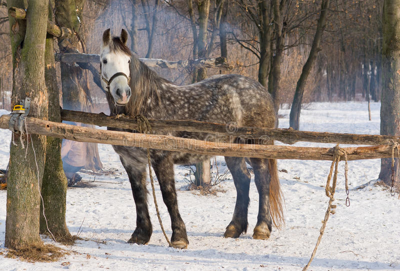 Eine alte dappled Stute im Winterströmungsabriß stockbilder