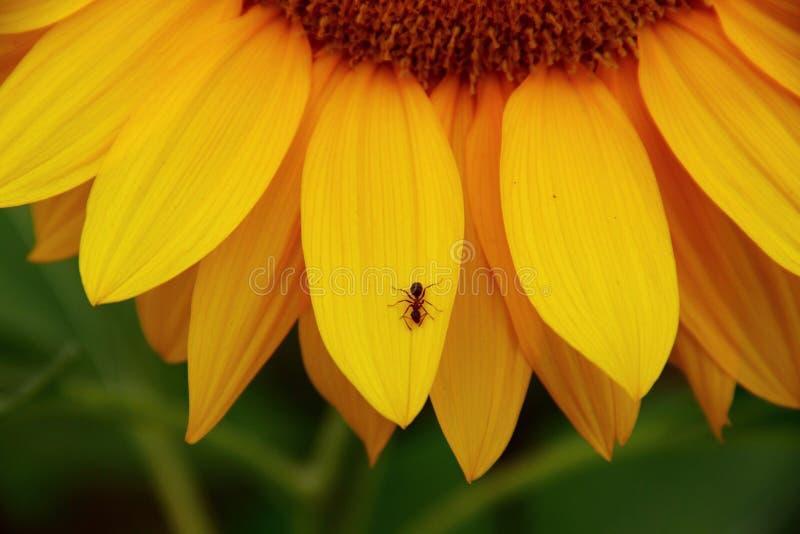 Eine Ameise auf einer Sonnenblume stockbilder