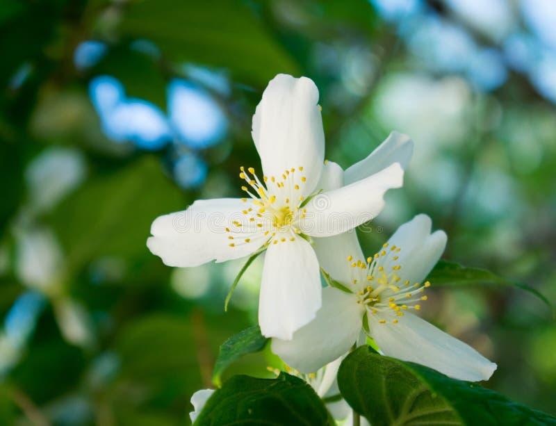 Eine andere weiße Blume stockbilder