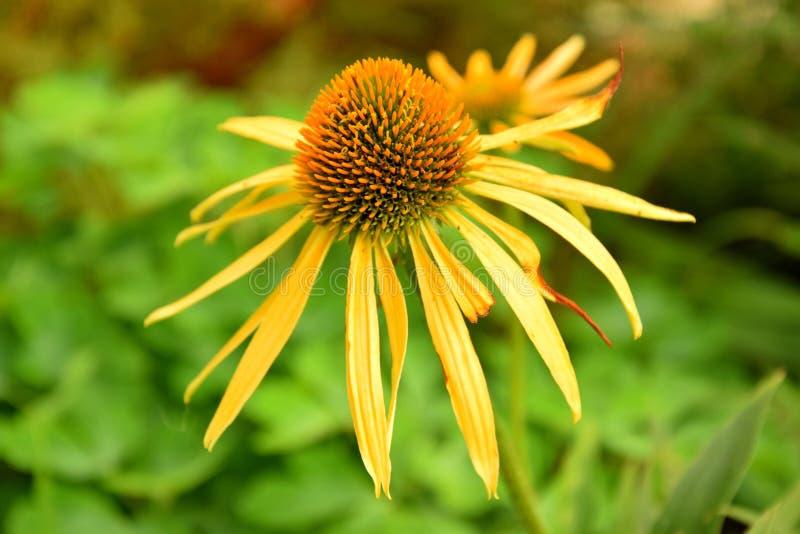 Eine Anlage, eine Blume, in meinem Garten, Sommer, gelb stockbild