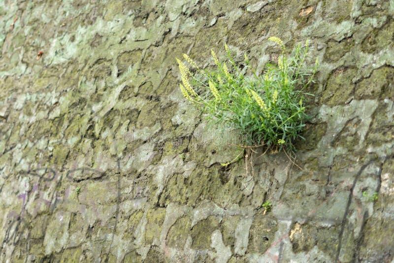 Eine Anlage, die auf einer Steinwand des alten Sandsteins w?chst lizenzfreies stockbild