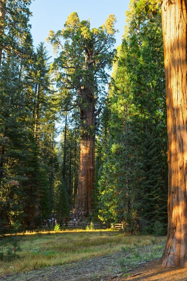 Eine Ansicht des Generals Sherman - riesiger Mammutbaum Sequoiadendron giganteum im riesigen Wald des Mammutbaum-Nationalparks, T stockfoto