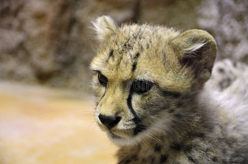 Eine Ansicht des Gepard ` s Kopfes lizenzfreies stockfoto