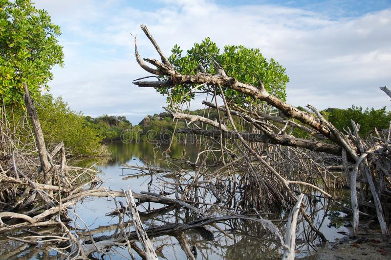 Eine Ansicht durch getrocknete Mangrove stockfoto