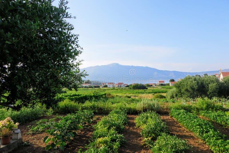 Eine Ansicht eines ausbreitenden Weinweinbergs, der die lokalen grk Trauben mit der Kleinstadt von Lumbarda im Hintergrund anbaut stockfotos