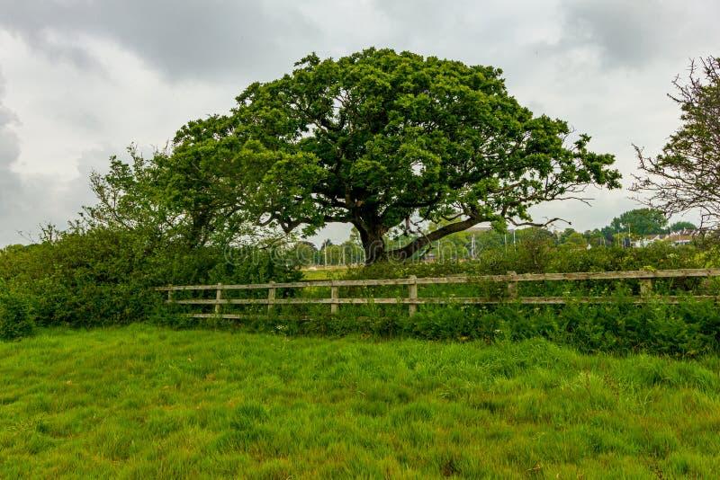 Eine Ansicht eines majest?tischen Baums entlang einem Bretterzaun mit Gras und gr?ner Vegetation unter einem wei?en bew?lkten Him stockfotografie