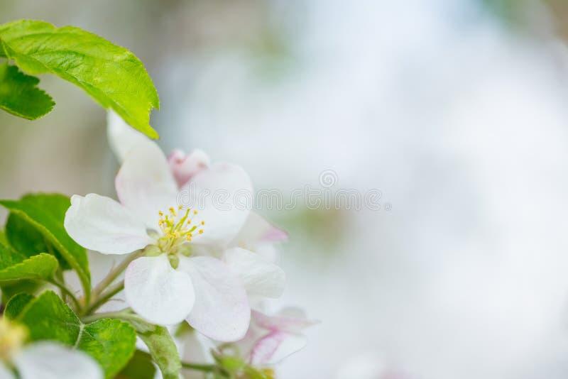 Eine Apfelbaum-Blütenblume auf Niederlassung am Frühling Schöne blühende Blume lokalisiert mit unscharfem Hintergrund stockbild