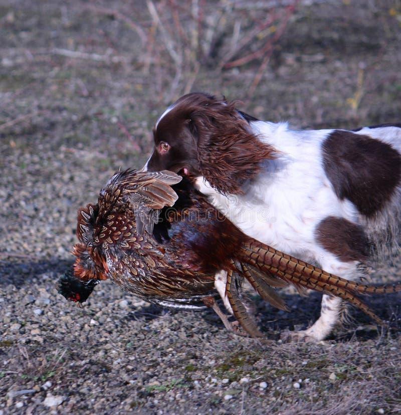 Eine Arbeitsart Spaniel-Haustierjagdhund des englischen Springers, der einen toten Fasan trägt lizenzfreies stockbild