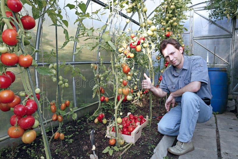 Eine Arbeitskraft erntet von den roten reifen Tomaten in einem Gewächshaus lizenzfreies stockbild
