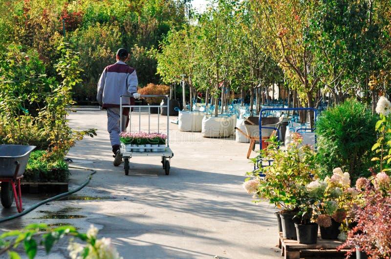 Eine Arbeitskraft mit einem Warenkorb geht hinter die Sämlinge in den Behältern an einem Gartenverkauf Bäume für das Pflanzen im  lizenzfreies stockfoto