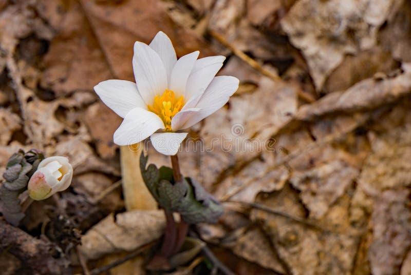 Eine auftauchende Bloodroot-Blume stockbilder