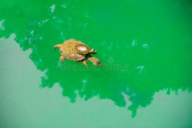 Eine Babyschildkrötenfahrt s-Rückseite auf einer Mutter 'im grünen Meerwasser lizenzfreie stockbilder