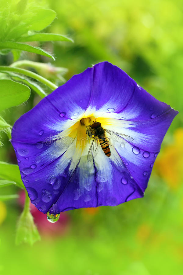 Eine besetzte Biene in der blauen Blume stockfotos