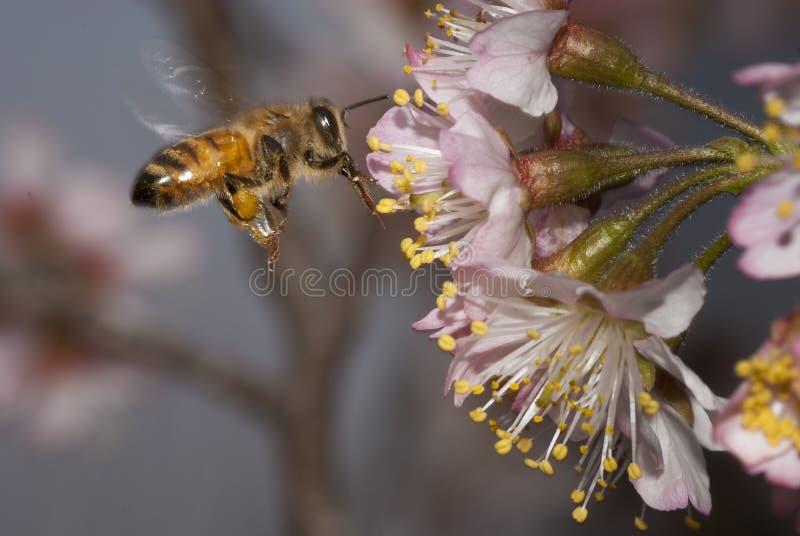 Eine Biene stockfoto