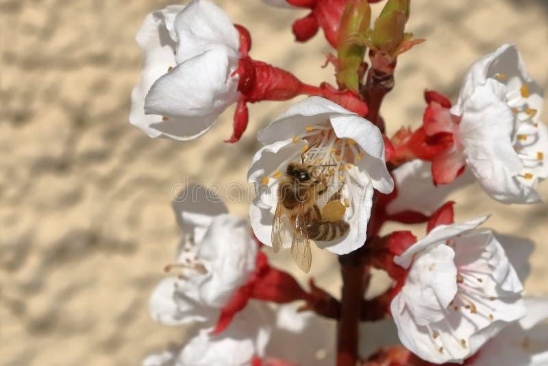 Eine Biene auf Aprikosenblüten stockfoto