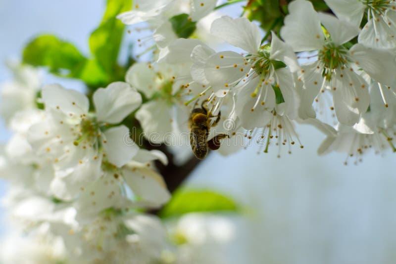 Eine Biene auf Cherry Flower stockfotografie