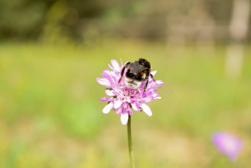 Eine Biene auf einem Rotklee stockbild