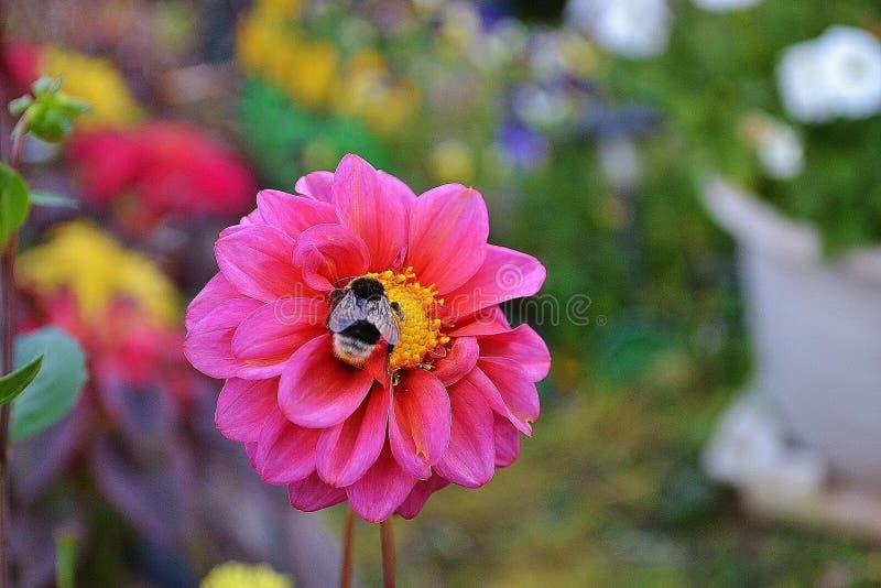 Eine Biene auf einer Blume lizenzfreie stockbilder