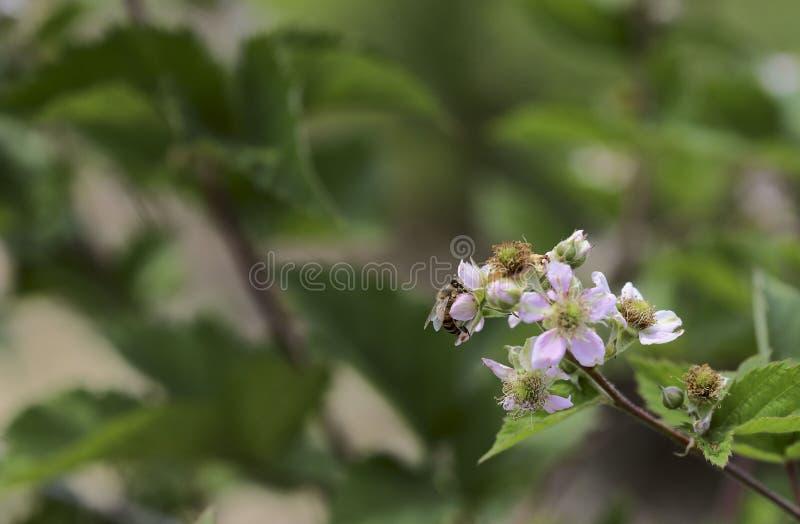 Eine Biene auf einer rosa Blume der wilden Rose sammelt Nektar lizenzfreie stockfotografie