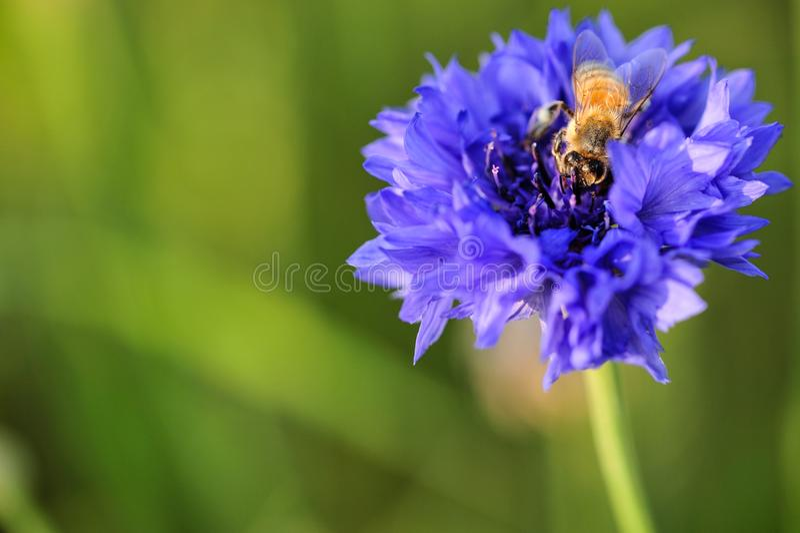 Eine Biene auf violetter Blume der Iris auf Fokus stockfoto
