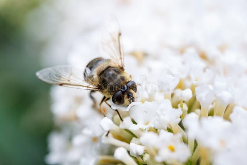 Eine Biene, die auf weiße Blumen sitzt lizenzfreie stockbilder