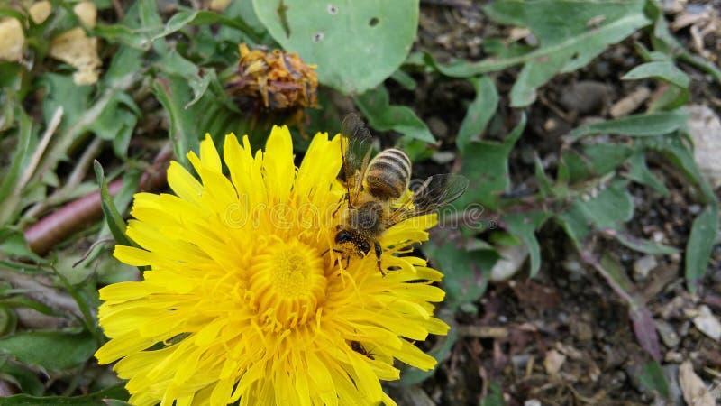 Eine Biene, die den Blütenstaub auswählt lizenzfreies stockbild