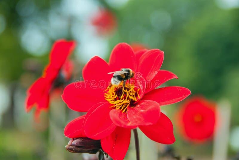Eine Biene, die Nektar auf einer Dahlie sammelt stockfotos