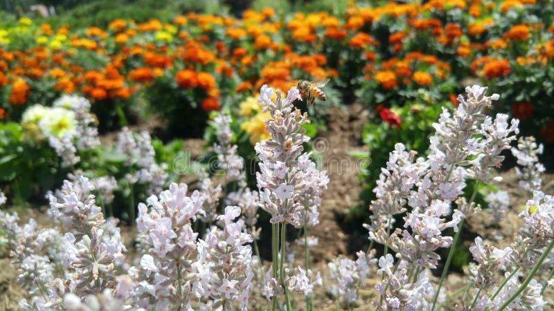 Eine Biene mit der Blume lizenzfreies stockfoto