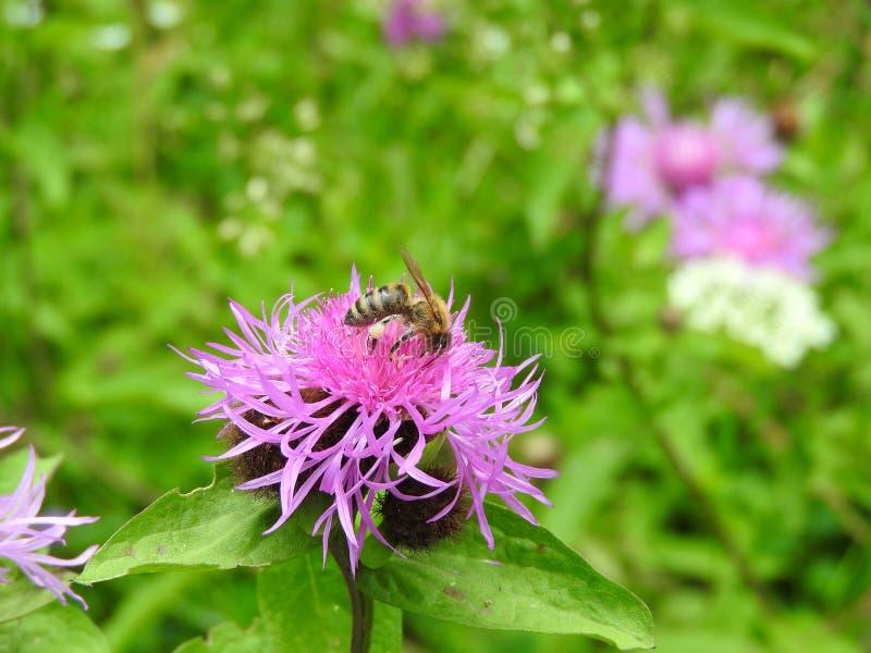 Eine Biene wirklich, die schwer arbeitet stockbild