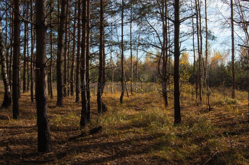 Eine Birkenwaldung im Herbst lizenzfreie stockbilder