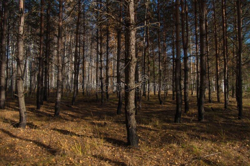 Eine Birkenwaldung im Herbst stockfotos