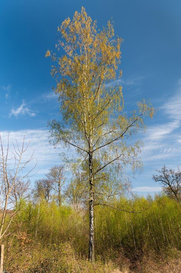 Eine blühende Birke an einem sonnigen Frühlingstag stockbilder