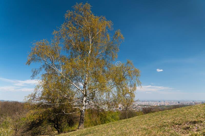 Eine blühende Birke an einem sonnigen Frühlingstag lizenzfreies stockfoto