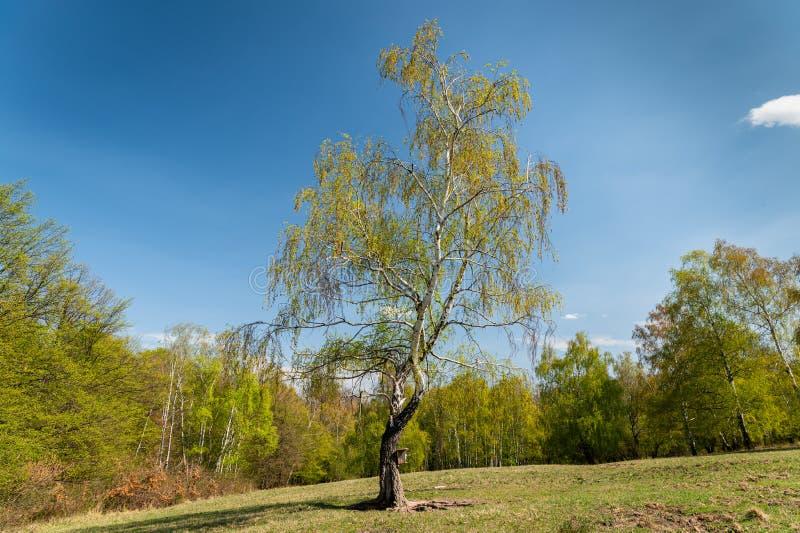 Eine blühende Birke an einem sonnigen Frühlingstag lizenzfreie stockbilder
