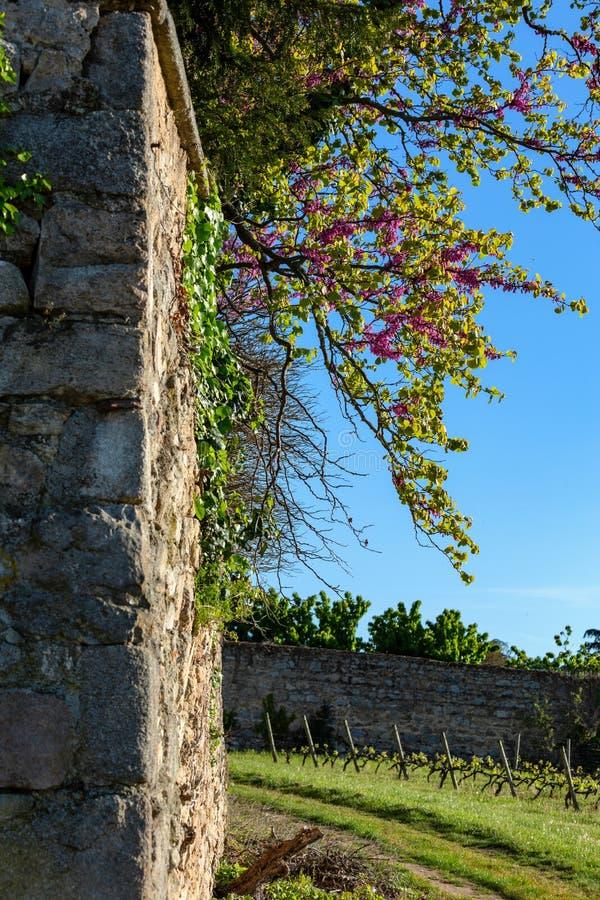 Eine blühende Niederlassung von roten Blumen auf einer alten mittelalterlichen französischen Wand Weinberglandwirtschaft im Fr?hj lizenzfreies stockbild