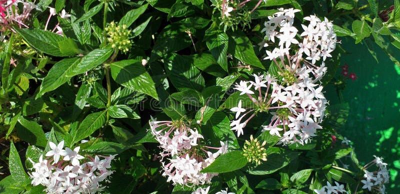 Eine Blüte der weißen Blume des Sternes morgens stockbilder