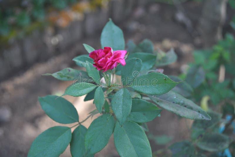 Eine Blüte stieg Blume morgens stockbilder