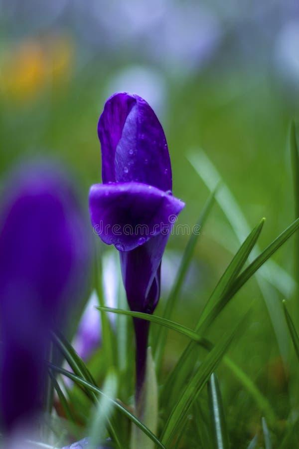 Eine blaue Krokusblume fängt an zu blühen lizenzfreie stockfotografie