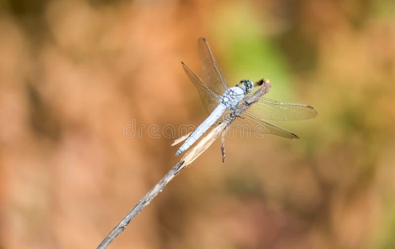 Eine blaue Libelle in der Natur lizenzfreies stockfoto