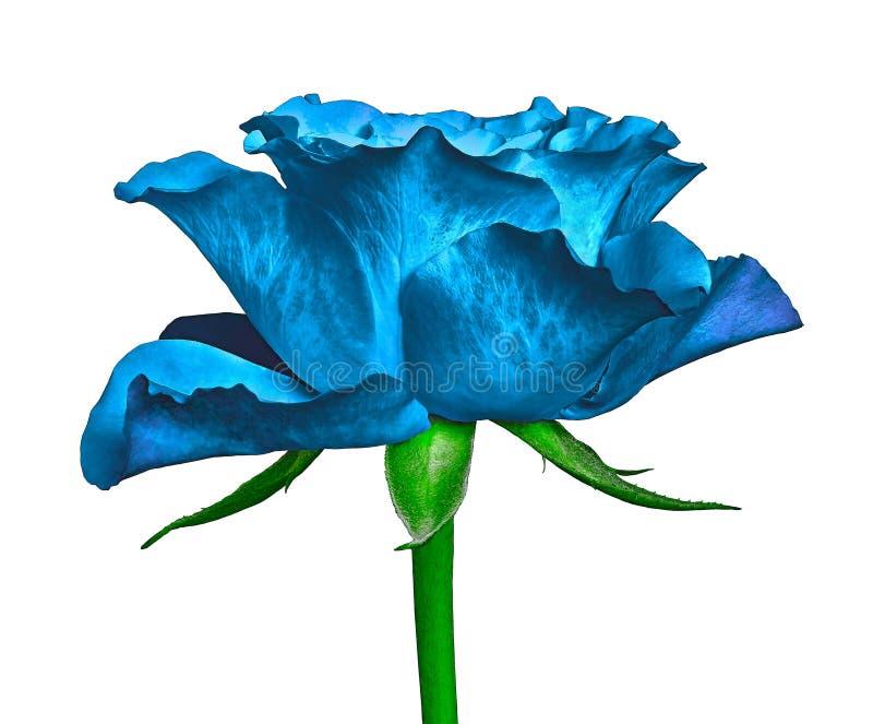 Eine blaue Rosenblume lokalisiert auf einem weißen Hintergrund Nahaufnahme Blumenknospe auf einem grünen Stamm mit Blättern stockfotografie