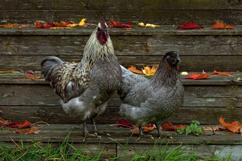 Eine blaue Variante einer Henne der Zucht Hedemora, im Herbst stockbild