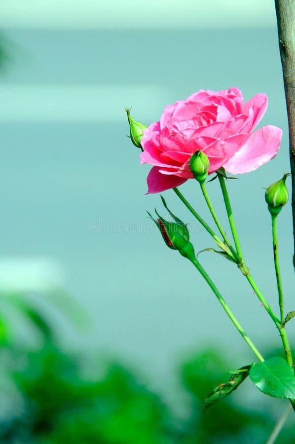 Eine bloomy Pfingstrosenblume lizenzfreies stockbild