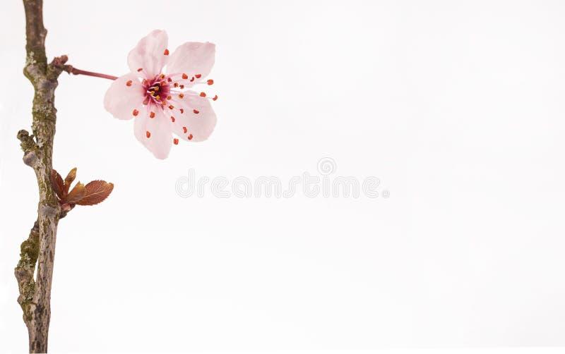 Eine Blume der japanischen Kirschblüte auf einer Niederlassung stockfotos