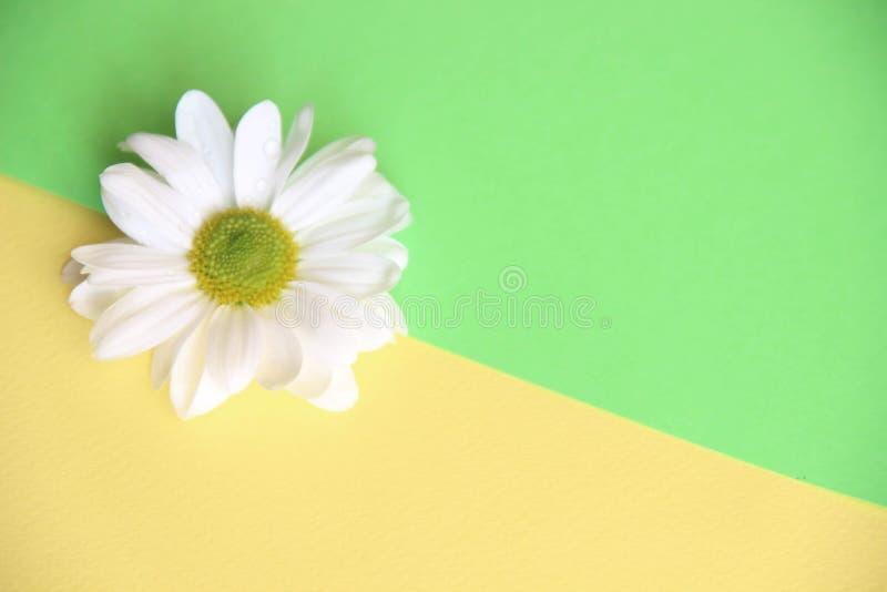 Eine Blume des weißen Gänseblümchens gelassen auf dem gelben und grünen Hintergrund diagonal geteilt, Schönheitskonzeptthema lizenzfreie stockfotos