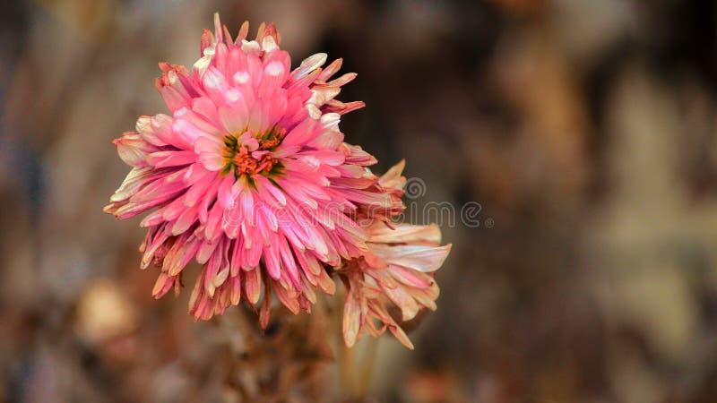 Eine Blume, die beginnt zu trocknen stockbild