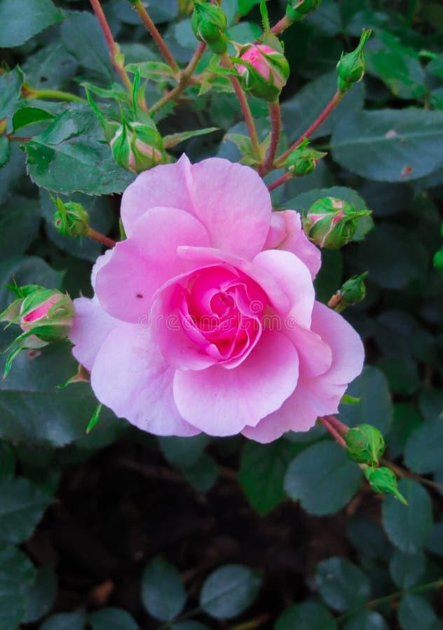 Eine Blume einer rosa Rose auf einer Niederlassung im Garten lizenzfreies stockbild
