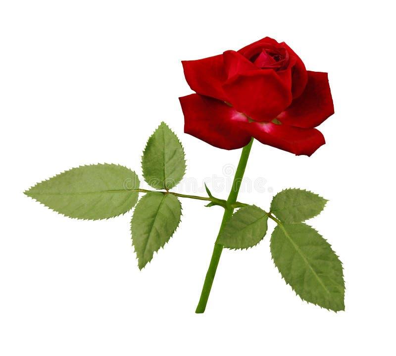 Eine Blume einer roten Rose auf einem grünen Stamm mit Blättern Blühen Sie Blüte auf lokalisiertem weißem Hintergrund mit Beschne lizenzfreies stockbild