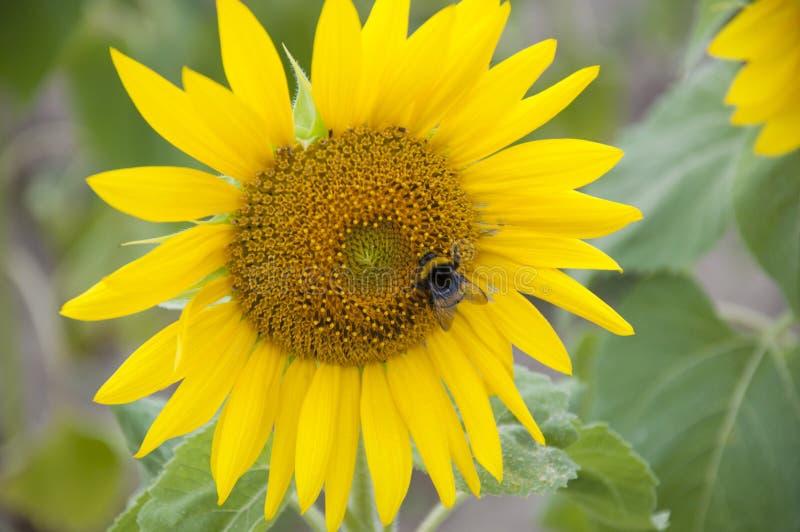 Eine Blume einer Sonnenblume lizenzfreies stockfoto